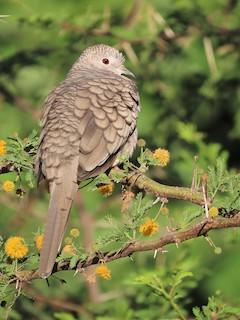Inca Dove, ML288070621