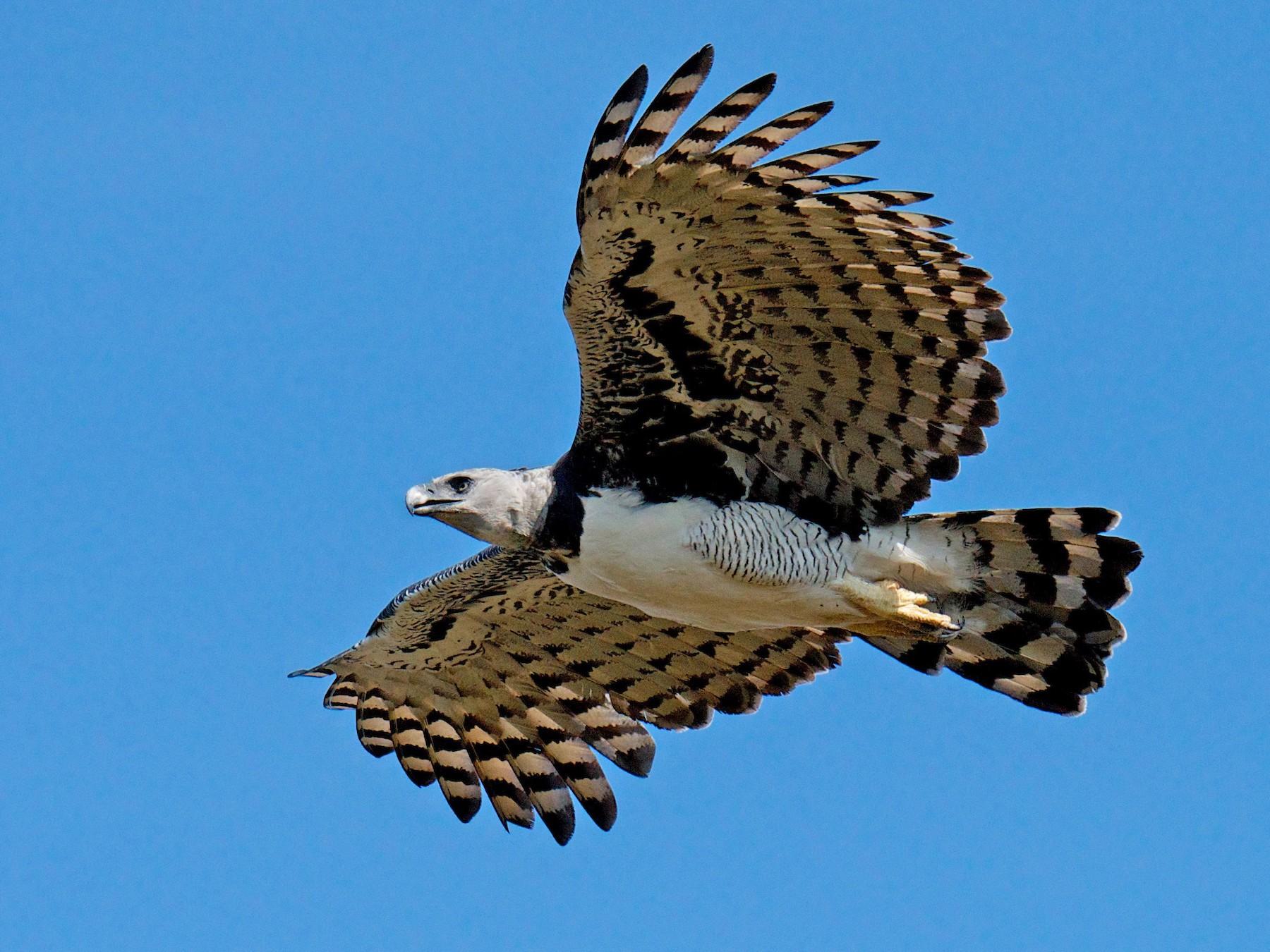 Harpy Eagle - Marilyn Henry