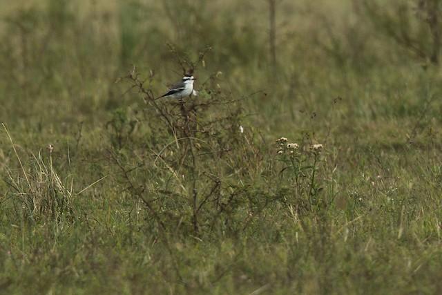 Black-crowned Monjita