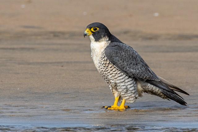 Peregrine Falcon (North American)