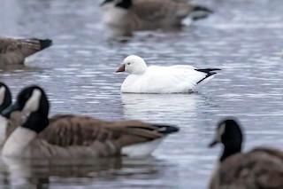 Ross's Goose, ML288815861