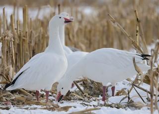 Snow Goose, ML289508691