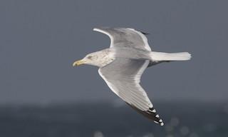 - Herring Gull (American)