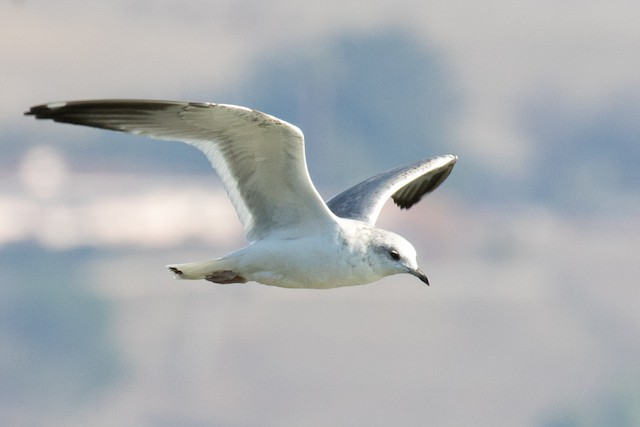 Short-billed Gull