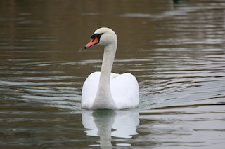 Mute Swan, ML289947871