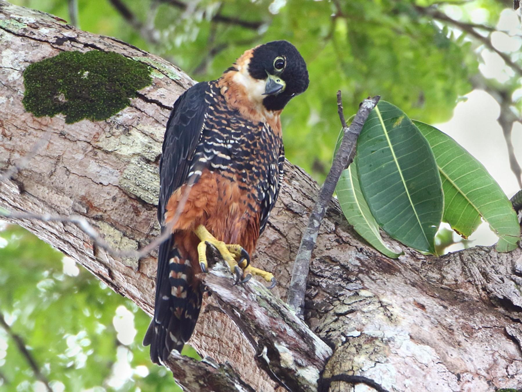 Orange-breasted Falcon - Anselmo  d'Affonseca