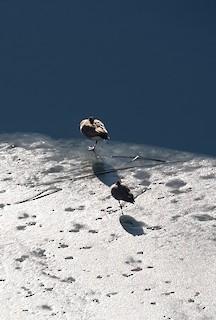 Cackling Goose, ML289967291