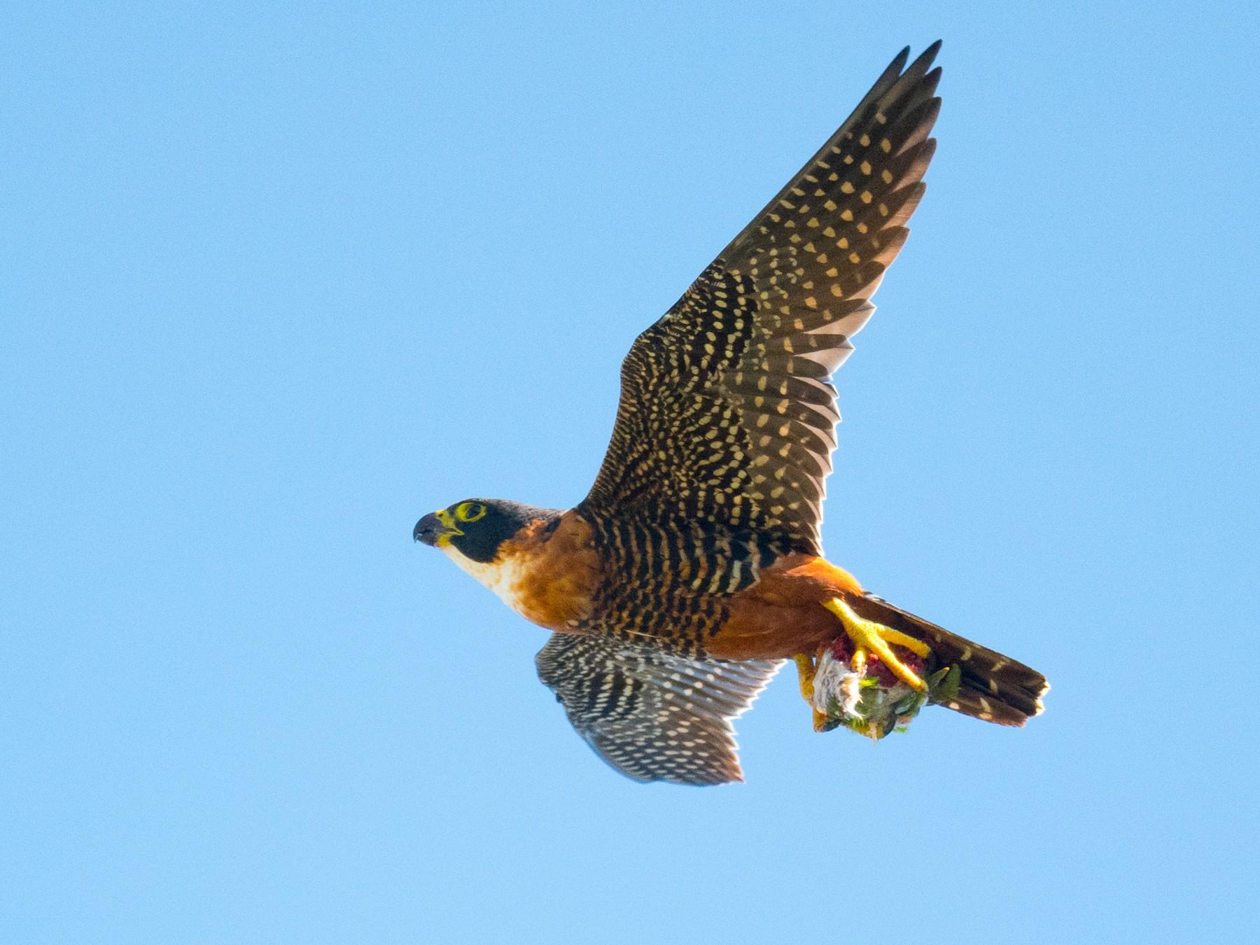Orange-breasted Falcon - John Cahill xikanel.com