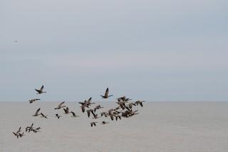 Canada Goose, ML290027201