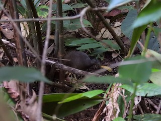 Little Tinamou, ML290374981