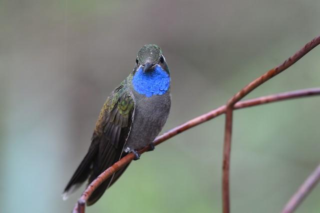 Blue-throated Mountain-gem