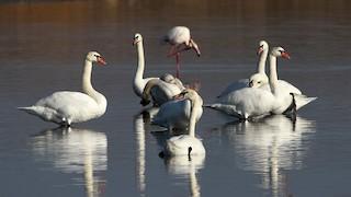 Mute Swan, ML290450891