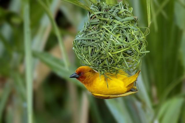 African Golden-Weaver