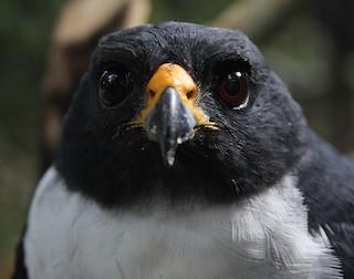 - Imitator Sparrowhawk