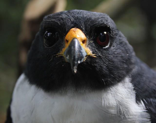Imitator Sparrowhawk