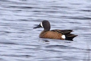 Blue-winged Teal, ML29077621