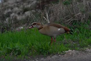 Egyptian Goose, ML291244021