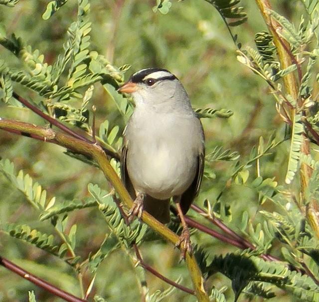 ©Seth Ausubel - White-crowned Sparrow (Dark-lored)