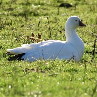 Ross's Goose, ML291405921