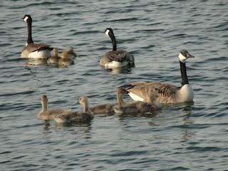 Canada Goose, ML29181371