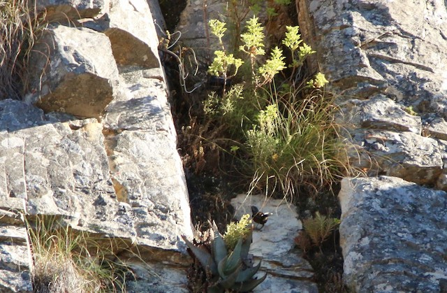 Nest built at base of geranium, against rock wall, center right.