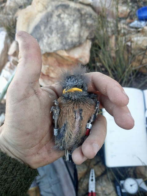 12 day old nestling with exposed sternum and body feathers still developing.