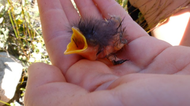Newly hatched chick, still damp from the egg.