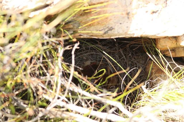 Nest built under large rock slab.