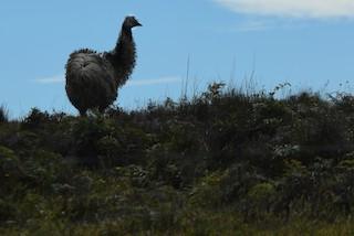 Emu, ML292652871