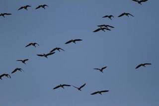 Greater White-fronted Goose, ML29274351