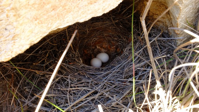 Nest with 2-egg clutch.