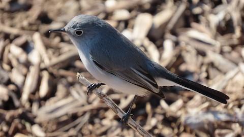 Blue-gray Gnatcatcher - Lena Hayashi