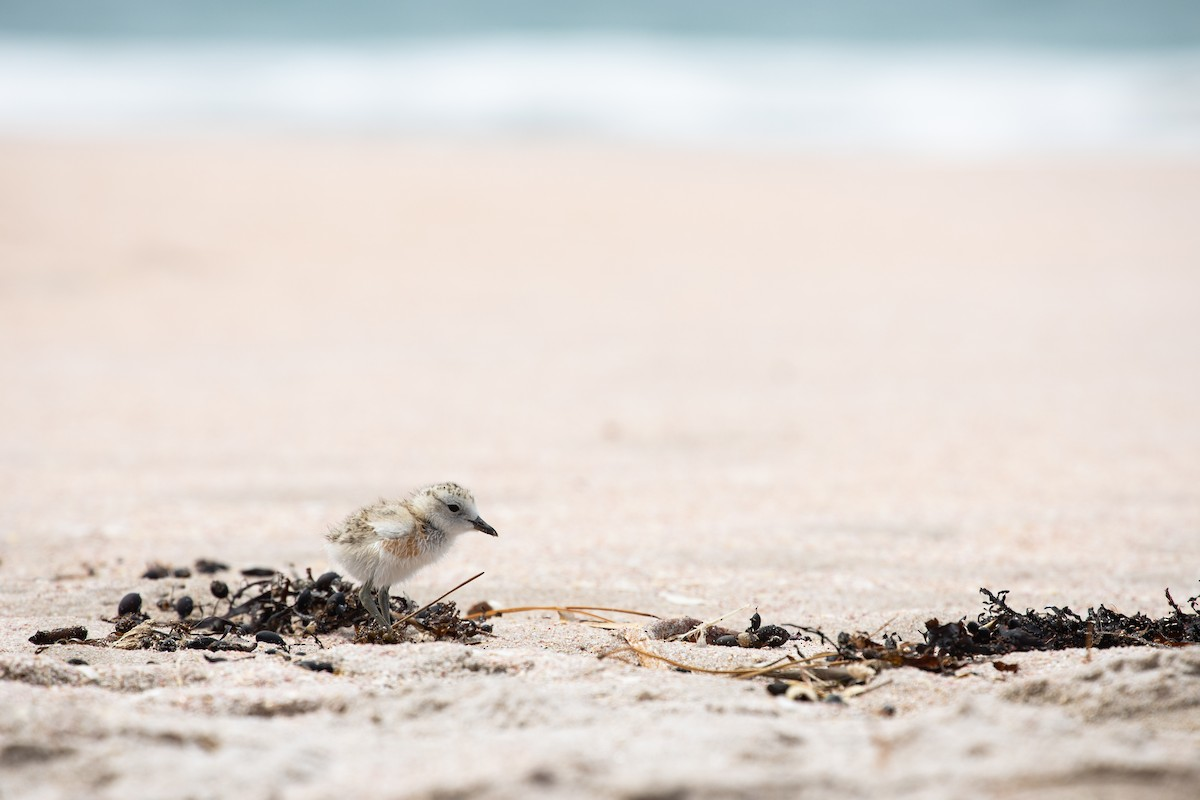 Red-breasted Dotterel ML292962831