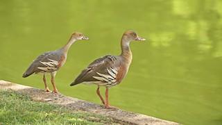Plumed Whistling-Duck, ML293294981