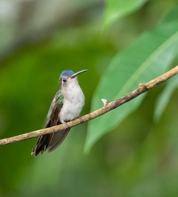 Long-tailed Sabrewing