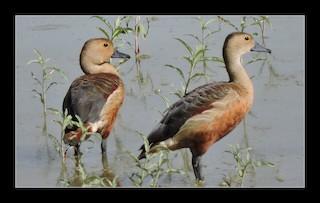 Lesser Whistling-Duck, ML29372921