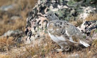 - White-tailed Ptarmigan