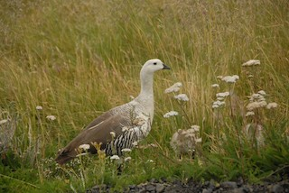 Upland Goose, ML293977761