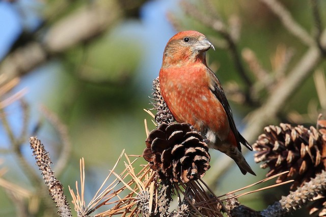 Red Crossbill (Sitka Spruce or type 10)