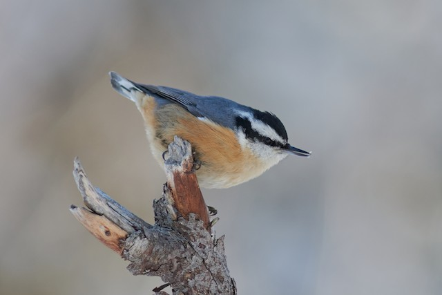 ©Ivan Wiljanen - Red-breasted Nuthatch
