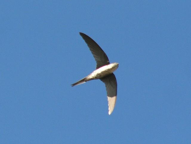 Pygmy Swift