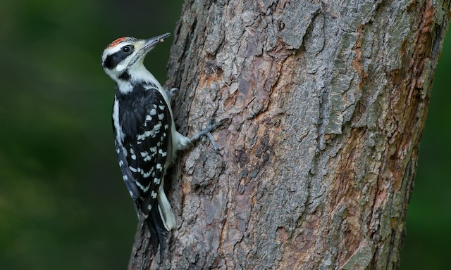 Hairy Woodpecker (Eastern)
