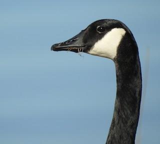 Canada Goose, ML294546661