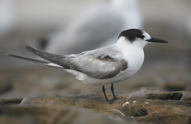 Common Tern (longipennis)