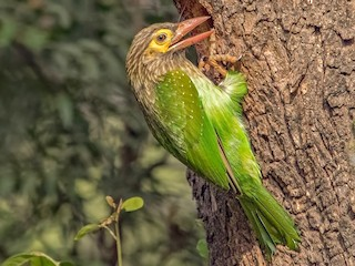 - Brown-headed Barbet