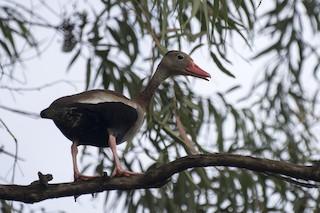 Black-bellied Whistling-Duck, ML294938841