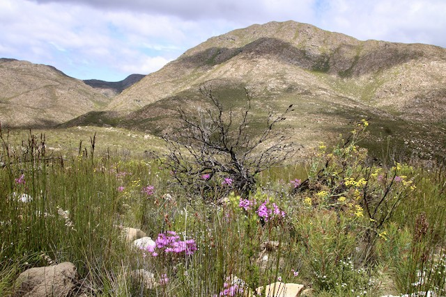 Typical restio-dominated mountain habitat Fynbos preferred by Cape Rockjumpers, 3–5 years since a wildfire.