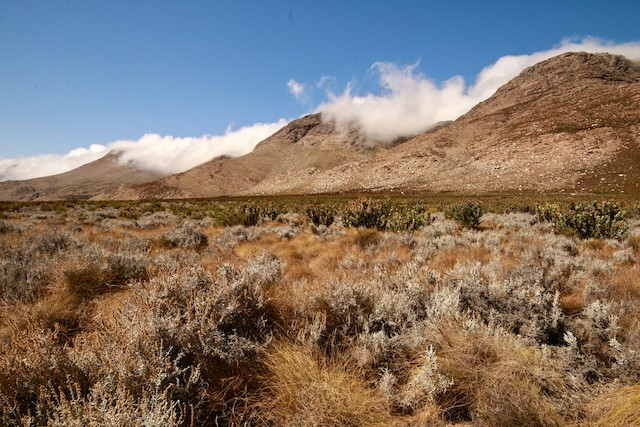 Lowland Fynbos on a plateau in the Swartberg, between peaks of mountain Fynbos that are home to Cape Rockjumpers.