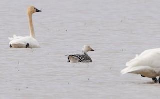 Snow Goose, ML295335351