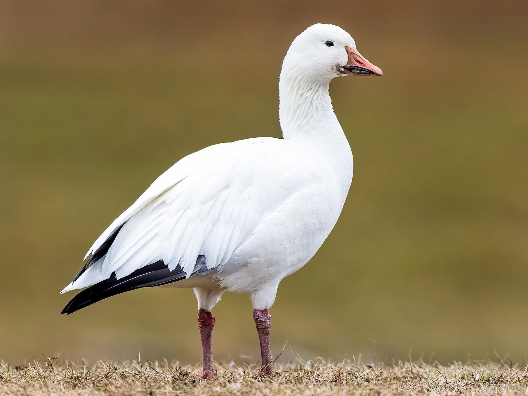 Snow Goose - Brad Imhoff
